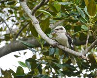 The Australian Laughing Kookaburra Stock Photography