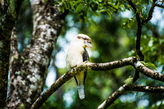 Australian Laughing Kookaburra Stock Images