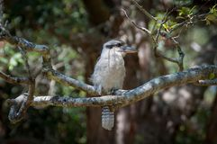 Australian laughing kookaburra sitting on a branch. In a park stock images