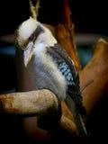 Australian laughing kookaburra. Laughing kookaburra (australian tree kingfisher) perched on tree trunk stock photo