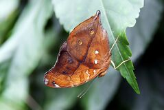 Australian leafwing. Royalty Free Stock Photos