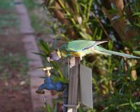 Australian Lincoln Ringneck Royalty Free Stock Photography
