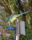 Australian Lincoln Ringneck Stock Photo