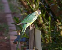 Australian Lincoln Ringneck bird Stock Photos