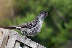 Australian little wattlebird. On a fence stock image