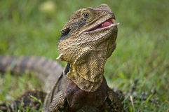 The Australian lizard. Royalty Free Stock Image