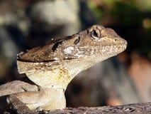 Australian lizard The Frilled Neck Lizard stock photography