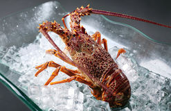 Australian lobster Royalty Free Stock Photos