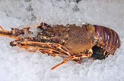 Australian lobster. Fresh australian lobster (spiny lobster) on ice cubes stock photo