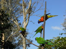 Australian lorikeets Stock Photo