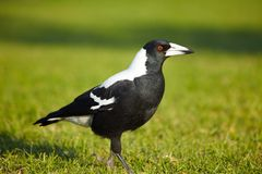 Australian magpie Stock Photos
