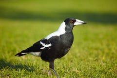 Free Australian Magpie Stock Photos - 12019893