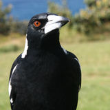 Australian magpie Royalty Free Stock Photos