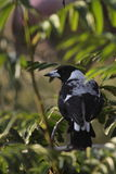 Australian magpie Stock Photography