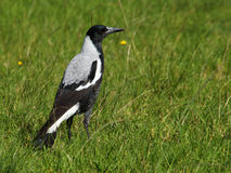 Australian Magpie Royalty Free Stock Images
