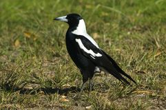 Australian Magpie. South Australia Royalty Free Stock Images