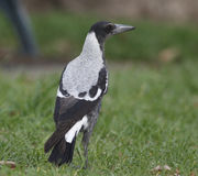 Australian Magpie. Bird is standing in the park Royalty Free Stock Photography