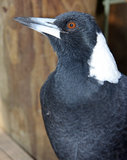 Australian magpie Stock Photo