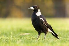 Free Australian Magpie Bird In Grass Wild Stock Photos - 181147703