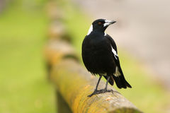 Australian magpie bird on rail. Australian magpie standing on a wooden rail Royalty Free Stock Photography