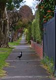 Australian Magpie on Pedestrian Path stock image