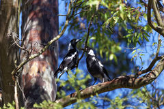 Australian Magpie birds in tree. An Australian Magpie sitting beside its juvenile in a tree. Wildlife in Sydney Royalty Free Stock Image