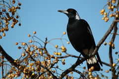 Australian Magpie (Cracticus Tibicen). An Australian magpie perching on a branch in Griffith, NSW Stock Photography