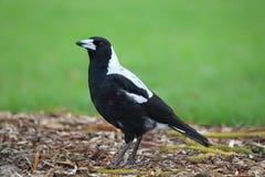 Free Australian Magpie (Cracticus Tibicen) Royalty Free Stock Image - 68757996
