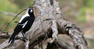Free Australian Magpie, Cracticus Tibicen, On Branch Stock Image - 149444271