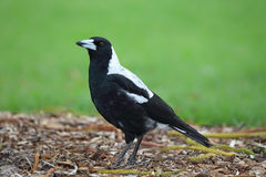 Australian Magpie (Cracticus tibicen) Royalty Free Stock Image