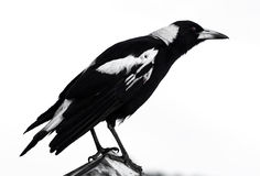 Australian Magpie in Front of Overcast Sky Royalty Free Stock Images