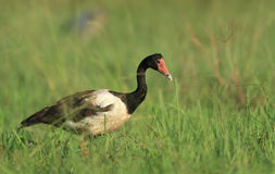 Australian magpie goose Stock Photography