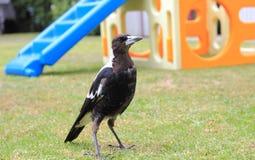 Australian Magpie Stock Photos