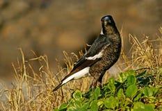 Australian Magpie. (Gymnorhina tibicen) on coastal dunes of Queensland Royalty Free Stock Images