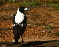 Australian Magpie. (Gymnorhina tibicen) on fence in South Eastern  WA Royalty Free Stock Photo