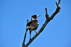 Free Australian Magpie Gymnorhina Tibicen In Noosa National Park Royalty Free Stock Photos - 150178878