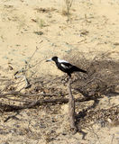 Australian Magpie  Gymnorhina Tibicen perching on  Royalty Free Stock Images