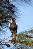 Australian magpie (Gymnorhina tibicen) Stock Images
