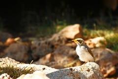 Australian magpie juvenile Stock Image