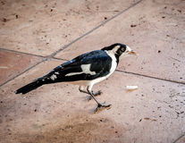 Australian Magpie-lark or Peewee Bird Eating Food Scraps Stock Photos