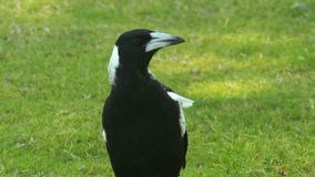 An Australian magpie on a lawn. An inquisitive Australian magpie standing on a grass lawn, cawing softly stock footage