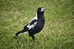 Australian magpie standing on grass. An Australian magpie standing on grass Stock Image