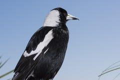 Australian Magpie Stock Image