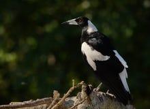 Australian magpie stock photography
