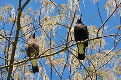 Australian Magpies: A Perfect Match royalty free stock images