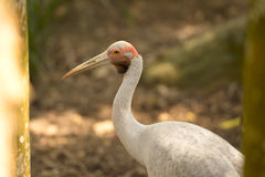 Australian Male Brolga. By itself in the outdoors Stock Image