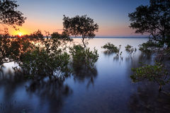 Australian mangrove trees at sunset Stock Photo