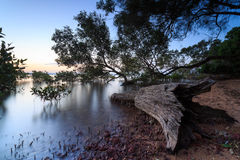 Australian mangrove trees at sunset Royalty Free Stock Photos