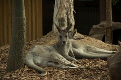 Australian Marsupial. At rest in a natural setting royalty free stock image