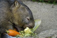 Common wombat Australian animal. Australian marsupial the common wombat or vombarus ursinus eating vegetables Royalty Free Stock Images